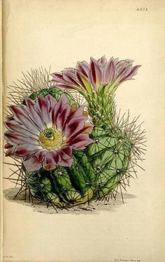 Echinocereus cinerascens (DC.) Lemaire [as Echinocactus chlorophthalmus Hook.] Curtis's Botanical Magazine, vol. 74 [ser. 3, vol. 4]: t. 4373 (1848) [W.H. Fitch]