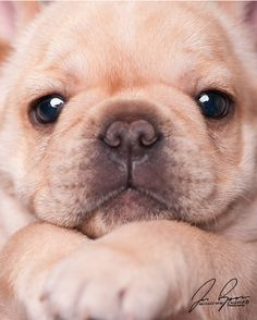 frenchie face ... ohhh my heavens!!!!