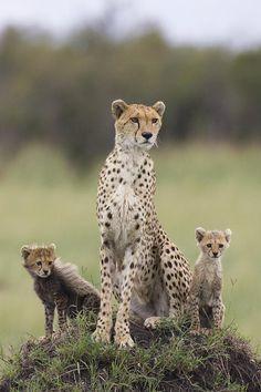 Cheetah Mother And Cubs by Maasai Mara, Kenya
