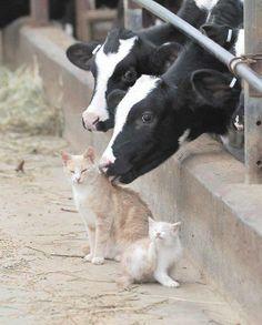 Un Chat qui a l'air d'aimer les léchouilles de cette Vache