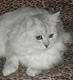 Reminds me of my shaded silver persian Duchess.