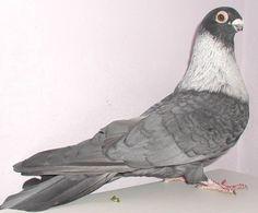 Egyptian pigeons
