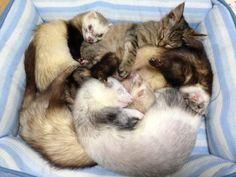 http://vivas.fi/hylatty-kissanpentu-pelastettiin-perheeseen-jossa-on-5-frettia-nyt-kissa-on-yksi-niista/