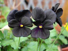 Black Viola..... Never knew of a black flower hmmm