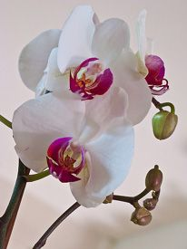 Welcome to Amy's Orchids - Fresh from Thailand to you! Phalaenopsis Orchid Care, Garden Pond, White Orchids, Flower Photos, Bloom, Ponds, Pathways, Beautiful Things, Floral