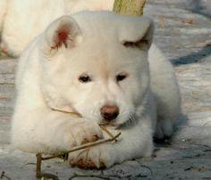 Akita Dog Breed Puppies