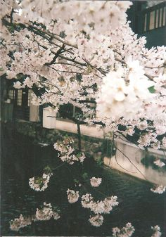 I went to Kyoto with my friend and brought with me some of the disposable cameras I had left from Tokyo and took some more photos :) The cherry blossom in Kyoto is amazing and beautiful! Beautiful Flowers, Beautiful Places, Sakura Cherry Blossom, Cherry Blossoms, Spring Blossom, Pretty Pictures, Surface Design, Mother Nature, Scenery