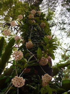 Hoya carnosa/ Flor de nácar