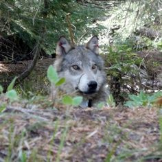 The illegal wolf killing in Washington State must stop, so League for Biological Diversity is offering a reward for the killer who recently gunned down the alpha female of the Teanaway pack. You can help.