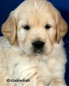 "Golden Retriever puppy Hope your doing well! From your friends at Scottsdale dog training""k9katelynn"" Please see More about phoenix dog training at k9katelynn.com! Pinterest with over 21,200 followers! Google plus with over 280,000 views! LinkedIn with over 9900 associates!! Now on instant-gram ! K9katelynn"
