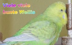 tolle Infos über Haltung, Ernährung und Gesundheit der Wellensittiche sowie viele spannende Infos. Parrot, Portal, Animals, Budgies, Gender Determination, Dun Horse, Pinto Horses, Basic Colors, Hang In There