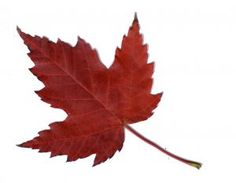 maple leaves - Google Search