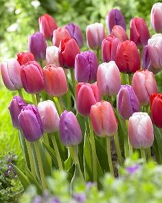 Hundreds of these are being planted in our new yard next week. God bless tulips. Greatest flower ever.