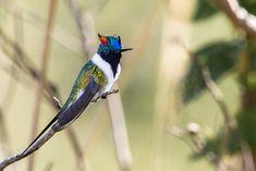 Foto chifre-de-ouro (Heliactin bilophus) por Thiago Calil | Wiki Aves - A Enciclopédia das Aves do Brasil