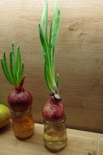 Mr. Greens Welt: Rote Zwiebel von der Fensterbank-Plantage