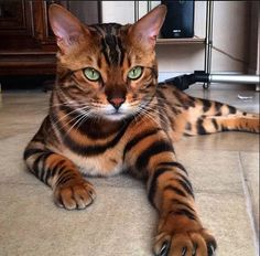 a MOST #POPULAR Re-Pin for CAT LOVERS is this Bengal Tiger striped house cat. More #felines at BIG CATS LITTLE CATS - https://www.pinterest.com/DianaDeeOsborne/big-cats-little-cats/ - SOURCE of this REAL PHOTO of gorgeous Kitty = #Amazing #World on #Facebook. #BENGAL #STRIPES