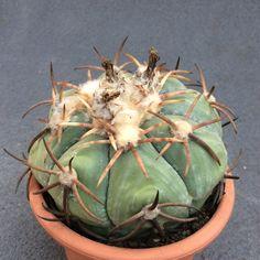 Echinocactus horizonthalonius f. moellerii