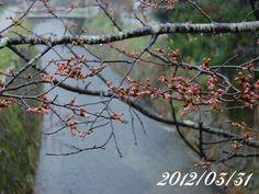 京都 哲学の道 桜 2012/03/31