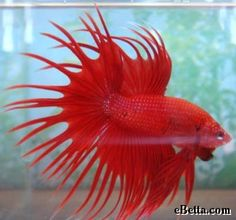 This red crowntail betta fish is beautiful. He has double crowntail rays.