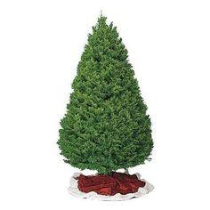 douglas fir types of christmas trees douglas fir southern living budgeting - Best Christmas Tree Type