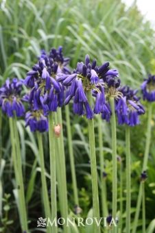 """Graskop Lily of the Nile (Agapanthus inapertus Graskop) - full sun, reaches 24-36"""" tall"""