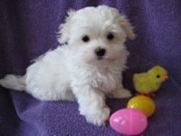 Malteses for Sale   Maltese Puppies