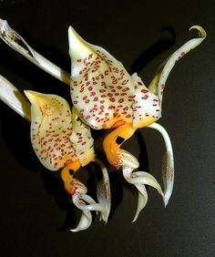 Orchid Stanhopea whittenii (NFS)