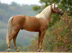 caballo palominos, los mas fieles