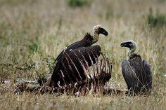 Poachers Are Killing Thousands of African Vultures to Hide Evidence of Their Crimes