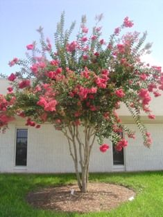 Lagerstroemia Indica Landscape Plants For South Florida