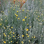 lavendar cotton (santolina chamaecyparissus): gray foliage, yellow button flowers in summer; likes full sun