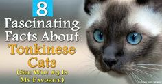 The Tonkinese, created by humans crossing Siamese and Burmese breeds, is an outgoing, playful cat that craves attention and special affection from his humans. http://healthypets.mercola.com/sites/healthypets/archive/2016/01/22/tonkinese-cat.aspx
