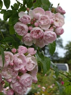 A trip to David Austin's Rose Garden : Grows on You David Austin Rose 'Belvedere' Love Rose, Pretty Flowers, Pink Flowers, Purple Roses, Beautiful Roses, Beautiful Gardens, House Beautiful, Roses David Austin, David Austin Climbing Roses