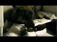 La storia di Navarre il lupo,,,Rescue of a wounded, malnourished wolf.