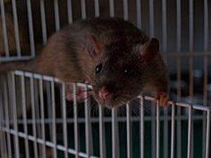 Em-dash on the cage door Rats, Animals, Animales, Animaux, Animal, Animais