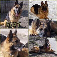 kutya-menhely-örökbefogadás-hajdúszoboszló-gazdikeresők-roxy-12