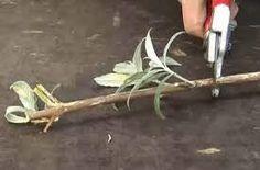 Stekken van vlinderstruik of Buddleia - Garten Vegetable Garden, Garden Plants, Backyard Plan, Bonsai, Diy Garden Furniture, Plant Cuttings, Edible Garden, Small Gardens, Garden Planning