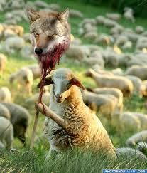 it's a joke of prey predator that shows a fox was trying to kill the sheep and eat it but the sheet defeated him and cut his head