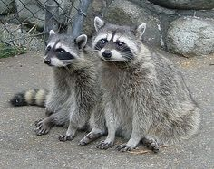 Vancouver Racoons by Claude@Munich, via Flickr
