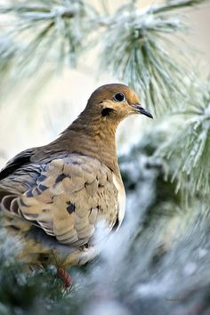 Winter Bird Mourning Dove by Christina Rollo. Close-up portrait of a Mourning Dove (Zenaida macroura), sitting with snow covered pine background. The Mourning Dove is the most abundant game bird in North America.   SHOP MY COMPLETE COLLECTION AT:  www.rollosphotos.com   FOLLOW ON:  Facebook: rollosphotos  Twitter: ChristinaRollo  Pinterest: rollosphotos
