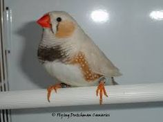 Chestnut Flanked white zebra finch