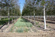Plantación de nogal clonal. Toledo