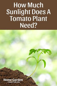 Sunlight is one of the most important pre-requisites for plant growth. Tomato requires a variable amount of sunlight at different points in its life cycle. Read this blog to learn more! Grow Tomatoes, Tomato Plants, Plant Growth, Plant Needs, Life Cycles, Vegetable Garden, Sunlight, Home And Garden, Herbs