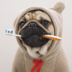 August is Pet Dental Health Month. Read all about pet dental health and how to make sure your pug's dental health is in great shape to avoid dental disease. Baby Pugs, Cute Baby Dogs, Cute Cats And Dogs, Cute Baby Animals, Funny Animals, Silly Dogs, Funny Dogs, Dental Health, Dental Care
