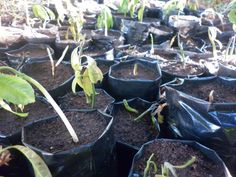 GREEN VISION ZIMBABWE : FIGHTING CLIMATE CHANGE AND DEFORESTATION BY DONATING AVOCADO TREE SEEDLINGS