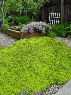 Thymus citriodorus Archer's Gold Thyme Low traffic drought tolerant.  Deer stay off!