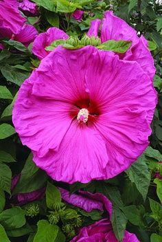 Hibiscus 'Jazzberry Jam'