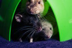 Poser rats