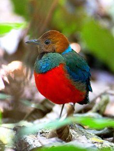 Red-bellied Pitta ( Pitta erythrogaster) Philippines