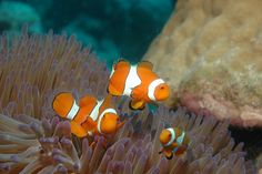 Clown fish trio at the Great Barrier Reef, Australia. Clownfish And Sea Anemone, Undersea World, Best Scuba Diving, Underwater Life, Ocean Creatures, Great Barrier Reef, Ocean Life, Marine Life, Wonders Of The World